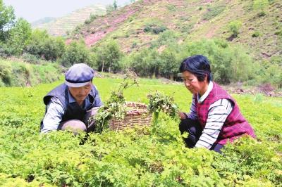定西岷县中寨镇今年共落实中药材种植两万多亩(图)