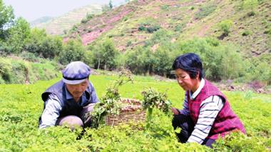 定西岷县中寨镇今年共落实中药材种植两万多亩