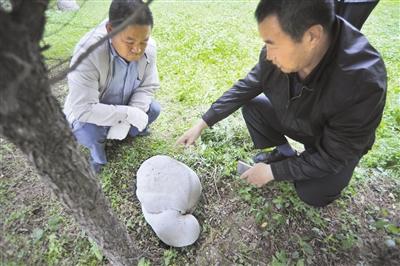"""兰州一校园绿地惊现白色""""大海龟"""" 专家鉴定是""""马勃""""(图)"""