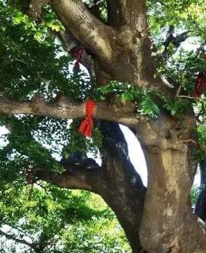 屹立陇东的百年黑弹树