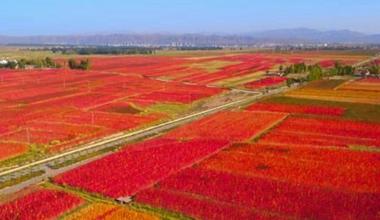 祁连山下藜麦红 甘肃永昌万亩藜麦迎来丰收季