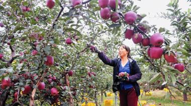 陇南礼县苹果形成明显的上市时差 有力带动了果农增收