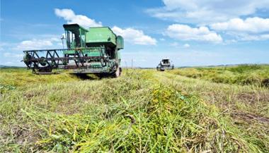张掖山丹马场种植的10万亩油菜已陆续成熟