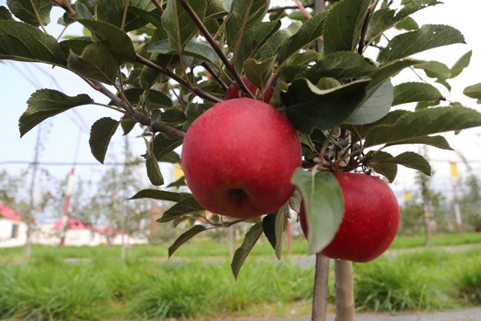 """[砥砺奋进的五年]静宁苹果用大数据""""读懂""""你的胃口"""
