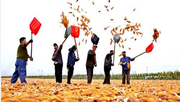 甘肃张掖百万亩制种玉米忙收获 满目金黄似画卷