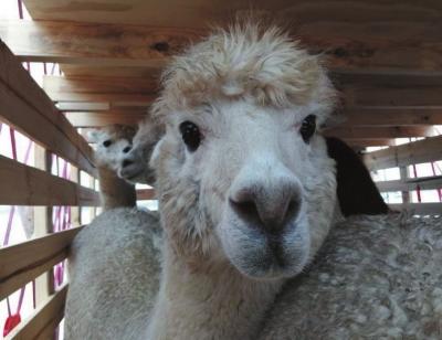 """960只澳洲羊驼""""乘""""货运包机抵达兰州(图)"""