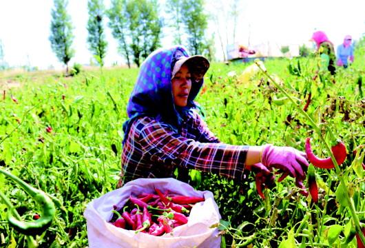 酒泉金塔县三合乡大柳林村种植户采摘辣椒(图)