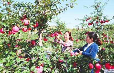 平凉: 庄浪县今年苹果喜获丰收