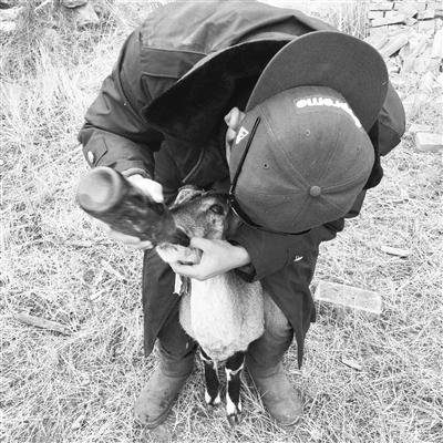 张掖肃南祁丰自然保护站救助一只眼疾岩羊(图)
