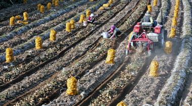 张掖民乐县种植的25万亩马铃薯进入收获期