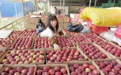 陇南礼县苹果迎来丰收季