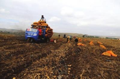 定西市安定区马铃薯进入采挖季节