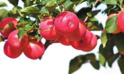 【砥砺奋进的五年】平凉静宁苹果红了 万千农民富了