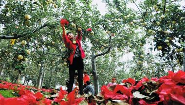庆阳宁县盘克镇果农在苹果园里忙着摘除果袋让苹果着色