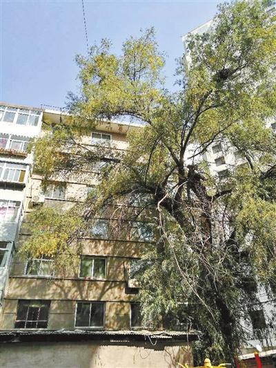 兰州市民反映:大树枝叶遮住采光居民窗前难享暖阳