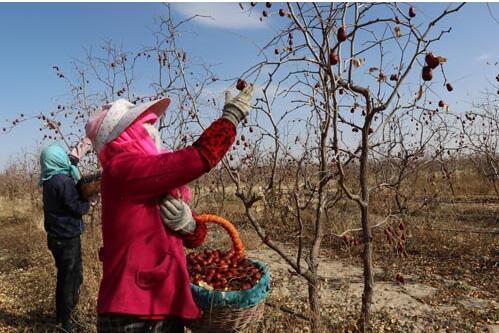 武威泉山镇:红枣产业助增收