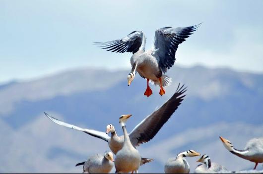 【环保督察进行时】酒泉:20余只大天鹅将在盐池湾湿地越冬(图)