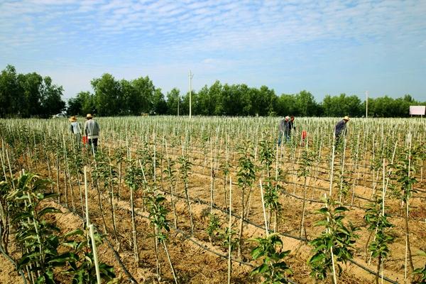 宁县建成全国最大的矮化自根砧苹果基地