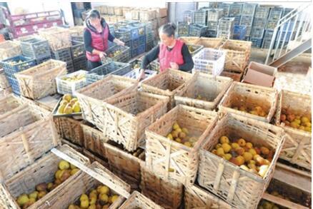 临夏州和政县充分发挥生态资源优势大力发展啤特果产业(图)