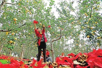 """庆阳宁县设点收购让苹果更""""红"""""""