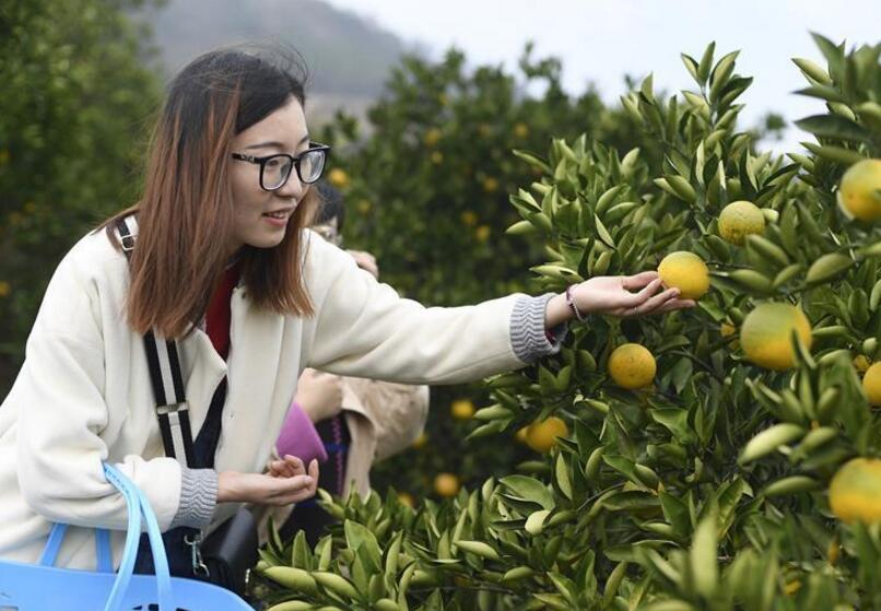 浙江:常山胡柚进入采摘季