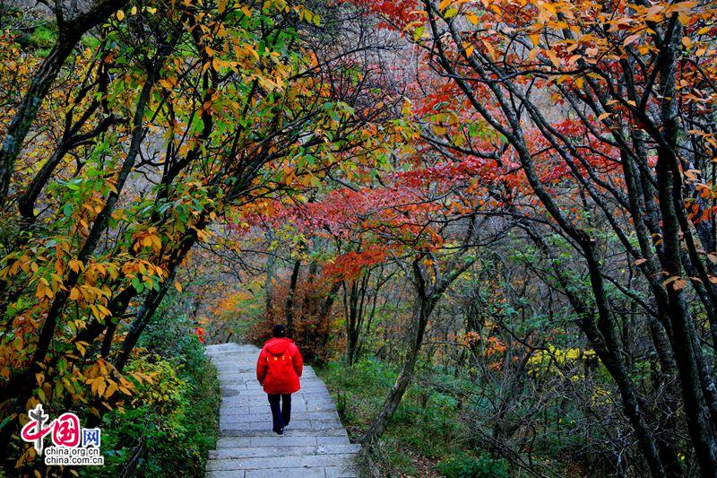 叶正红秋还浓 黄山处处不期而遇的美丽(图)