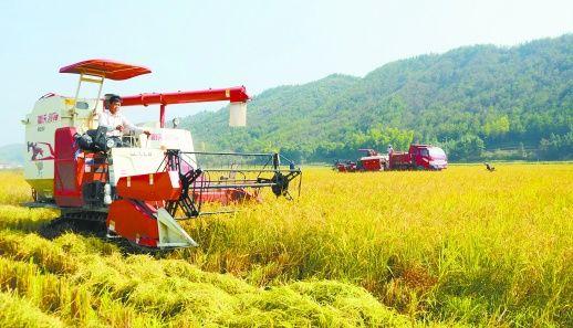 水稻再生 一种两收