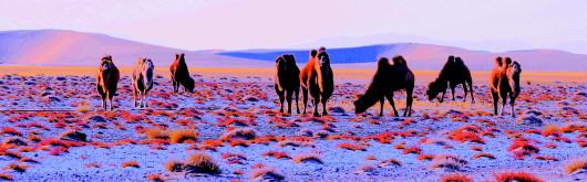 骆驼在酒泉阿克塞哈尔腾草原自由觅食(图)