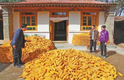 白银市会宁县种植的100万亩全膜玉米喜获丰收