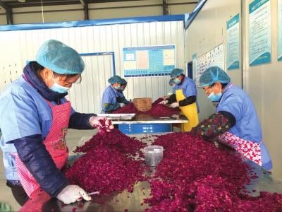 兰州永登发展特色产业增加农民收入 玫瑰谷添新型农民工(图)