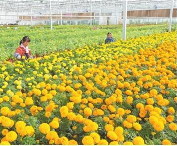 甘肃临夏国家农业科技园区连栋温室内培育反季节花卉