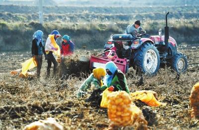 定西市安定区马铃薯种植户忙着收获马铃薯