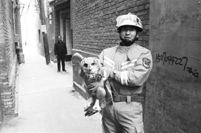 """兰州 :猫头鹰被卡墙缝中 消防员救出""""萌胖子"""""""