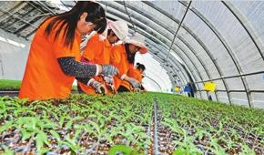 白银市靖远县绿源合作社社员培育蔬菜种苗