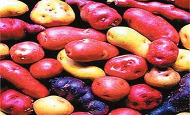 彩色马铃薯品系在陇南宕昌选育成功