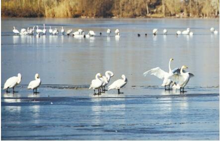 张掖:大批北迁候鸟在黑河湿地国家级自然保护区临泽段栖息觅食