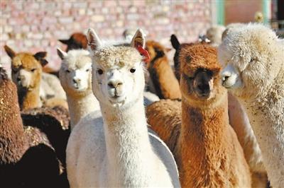 甘肃省首次从澳大利亚引进847只羊驼(图)
