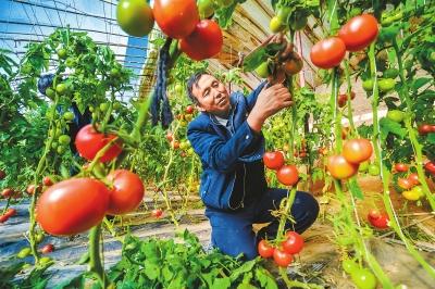 敦煌市月牙泉镇兰州村村民在日光温室中采摘西红柿