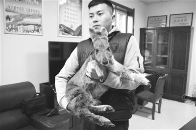张掖肃南县隆畅河林场救治一只受伤马麝