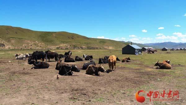 【新闻学子重走西北角】雪域牦牛乳品产业促民增收 ——甘南牧民的牦牛养殖致富路