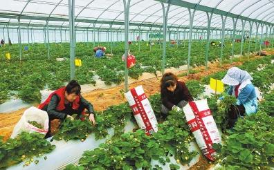 庆阳市宁县建成5万亩矮化密植苹果基地和500亩草莓基地