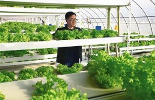 白银靖远无土栽培蔬菜长势喜人