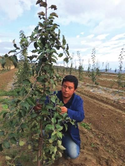 甘肃静宁小伙从白领到果农 辞去世界500强工作回乡创业建果园 (图)