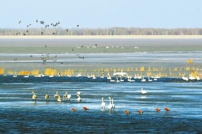 大天鹅等候鸟在红崖山水库栖息(图)