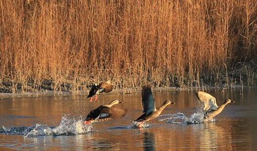 甘肃张掖:湿地清晨野鸭飞