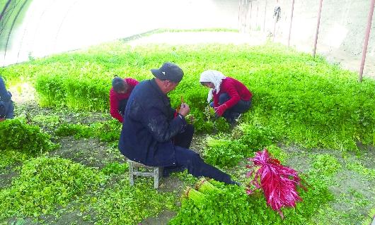 酒泉肃州区西峰镇塔尔寺村村民采收温室芹菜(图)
