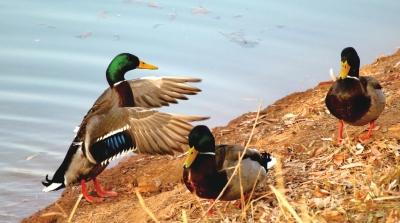 兰州:候鸟嬉戏湿地公园