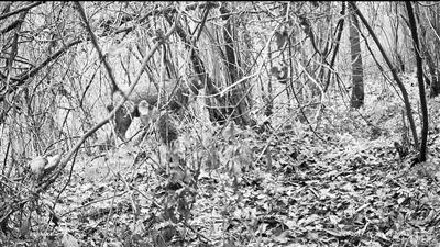 甘肃连城自然保护区首次拍到野生梅花鹿实体影像(图)