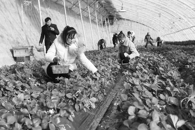 张掖民乐县六坝现代农业示范园草莓成熟 吸引市民采摘尝鲜(图)