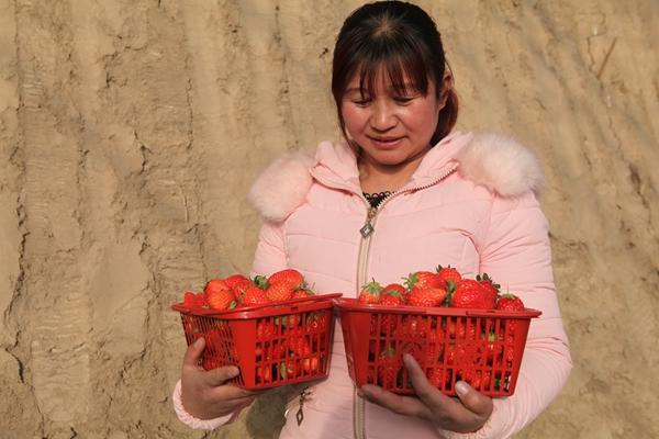 甘肃民乐:冬季草莓上市 体验采摘受热捧